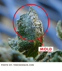 Mold on Cannabis ABcann