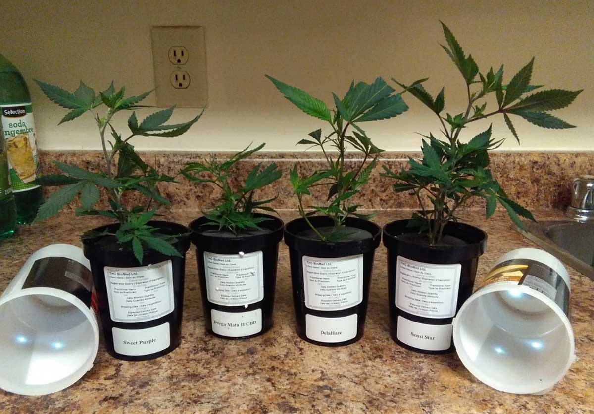Cannabis growing in Dianna's home.