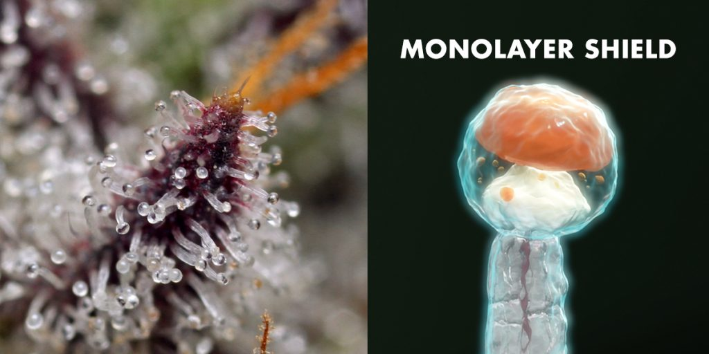 Shown left: Up close shot of cannabis that shows the trichomes. Shown right: view of a trichome in the molecular state that shows the monolayer shield of moisture created by Boveda.