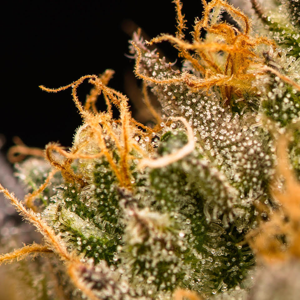 "balls known as trichomes. Trichomes are where THC, terpenes and other cannabinoids form. While growing and freshly cut, the trichome is delicate as is the thin ""skin"" that protects its contents.  Cannabis starts to degrade immediately after harvest. Wet-trimmed flower dries quickly—in two to five days—because you're fully exposing those naked buds to oxygen and the natural process of evaporation.  So it's important to keep an eye on the bud's moisture content or you'll damage your delicate trichomes."